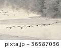 タンチョウ ツル 飛翔の写真 36587036