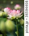 蓮 ハス ピンクの写真 36594408