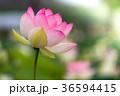 蓮 ハス ピンクの写真 36594415