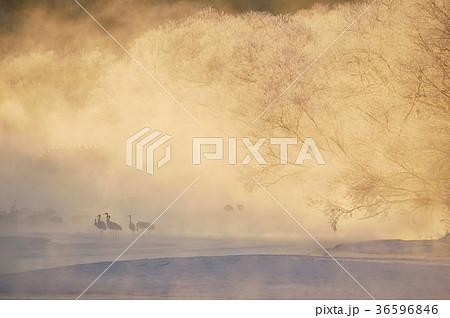 朝陽に染まる樹氷とタンチョウの群れ(北海道・鶴居) 36596846
