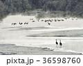タンチョウ 樹氷 ねぐらの写真 36598760