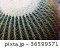植物 サボテン 棘の写真 36599371