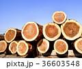 杉 丸太 木材の写真 36603548