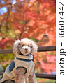 犬 トイプードル 公園の写真 36607442