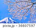 富士山 桜 春の写真 36607597