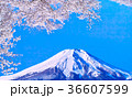 富士山 桜 春の写真 36607599