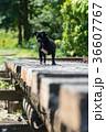線路の上を歩くパグ 36607767
