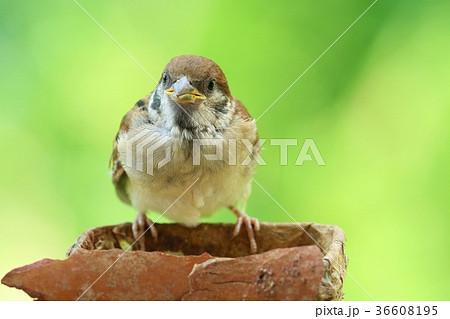 スズメ 雛 巣立ち 自分で餌を食べる練習 36608195
