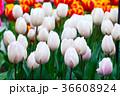 チューリップ チューリップ 花壇の写真 36608924