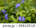 ホタルカズラ 蛍葛 青い花の写真 36610519