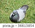 鳩 ハト 鳥の写真 36613854
