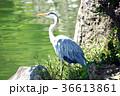 あおさぎ 青鷺 鳥の写真 36613861