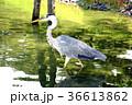 あおさぎ 青鷺 鳥の写真 36613862