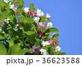 五月の花 花 花びらの写真 36623588