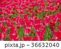 チューリップ チューリップ畑 花の写真 36632040