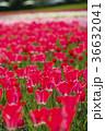 チューリップ チューリップ畑 花畑の写真 36632041