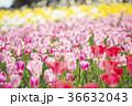 チューリップ チューリップ畑 花の写真 36632043