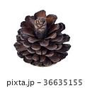 松 マツ 球果の写真 36635155