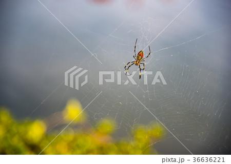 カラフルなクモとクモの巣 36636221