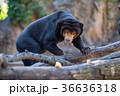 上野動物園 動物 熊の写真 36636318