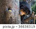 上野動物園 動物 熊の写真 36636319