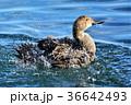 オナガガモ 鴨 水鳥の写真 36642493