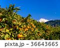 ミカン畑越しに富士山(静岡県) 36643665