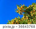 ミカン畑 鈴生り(すずなり)のミカン 36643768
