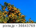 蜜柑 果実 果物の写真 36643769