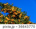 ミカン畑 鈴生り(すずなり)のミカン 36643770