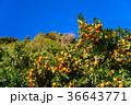 ミカン畑 鈴生り(すずなり)のミカン 36643771
