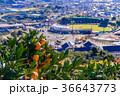 ミカン畑越しに清水庵原球場 36643773