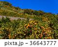 ミカン畑 鈴生り(すずなり)のミカン 36643777