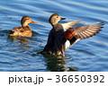 オカヨシガモの羽ばたき 36650392