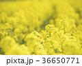 菜の花 菜の花畑 咲くの写真 36650771