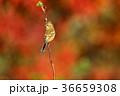 赤のベニマシコ雌 36659308