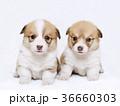 コーギー子犬兄妹 36660303