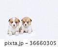 コーギー子犬兄妹 36660305