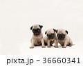 パグ 兄弟子犬 36660341