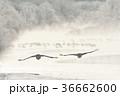 鶴 タンチョウ 飛ぶの写真 36662600