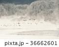 鶴 タンチョウ 冬の写真 36662601