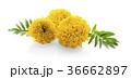 マリーゴールド キンセンカ 金盞花の写真 36662897