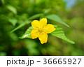 ヤマブキの花 36665927