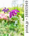 オダマキの花 36665949