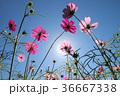金鶏菊 ジャノメソウ 蛇の目草の写真 36667338