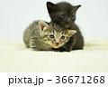 子猫の兄弟 36671268
