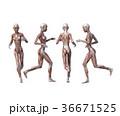 筋肉 解剖 女性のイラスト 36671525