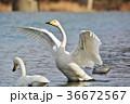 白鳥 水鳥 野鳥の写真 36672567