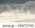 鶴 タンチョウ 冬の写真 36672795