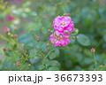 植物 花 ばらの写真 36673393